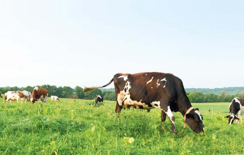 Organic Valley cows in pasture. Contributed photo
