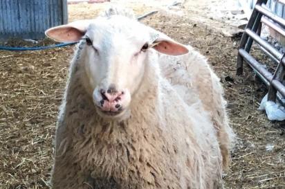 Sheep at Lamb of God Farm east of Dyckesville