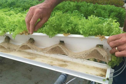 lettuce roots