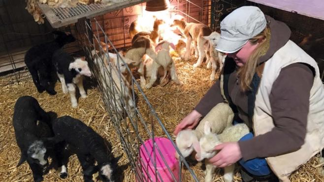 Jenny DeJardin tends to lambs.